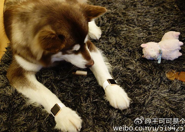 Photo of Milionário chinês compra dois Apple Watches de ouro para a sua… cachorra